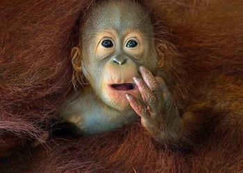 Orangutans: Our Endangered Wild Cousin