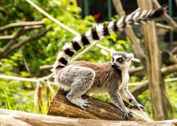 Royal Safari Garden Welcomes Madagascar Primate Lemur Catta